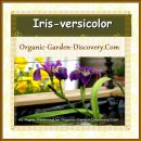 Low growing small purple white yellow water Iris versicolor bulb is blooming