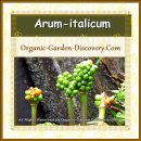 Berry a-like Italian Lords-and-Ladies, Arum italicum