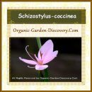 Water Kaffir lily, Schizostylus coccinea is blooming organic pink flowers in autumn