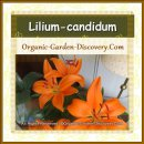 Lilium-candidum in deep-orange