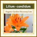 Lilium-candidum in soft orange