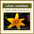 Lilium-candidum in yellow