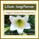 White Lily in medium size is great for a large decoration