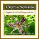 Tricyrtis-formosana flower is grown organically