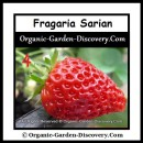 Ripe and red strawberry Fragaria Sarian harvested in early June.