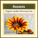 African Gazania in solid yellow red colour