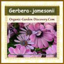 Purple pink Gerbera jamesonii