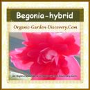 An in house natural grown sweet pink Begonia