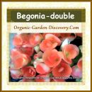 The common Begonia blossoms are most welcome in the cold season