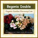 The Deep Red and Soft Pink Begonia flowers sitting side by side