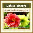 Dahlia pinnata in orange pink