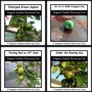 Apples were enlarging and enjoying the evening sun in the month of June.