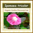 Ipomoea-tricolor in pink and dark pink strips