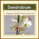 Dendrobium orchid in cream with pink highlight