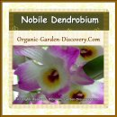 A large Nobile Dendrobium orchid in white, pink and yellow.