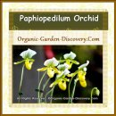 Paphiopedilum Orchids with green strips and yellow cups