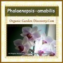 Phalaenopsis orchid in white with purplish highlight