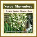First lovely Yucca filamentosa plant in our flowers guide