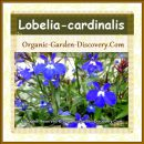 Blue and white Lobelia is an attractive plant for your hanging basket