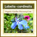 Lobelia-cardinalis can be grown in any damp location
