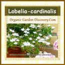 Cardin flowers are blooming white in an earth pot outdoor