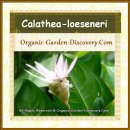 Calathea-loeseneri is a tropical evergreens herb