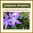 Campanula garganica makes beautiful flowering ground cover