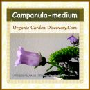 Campanula-medium can stands long in your vase