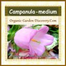 Sweet pink bell shape Campanula is expressing its love to you