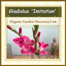 Gladiola in sweet pink colour standing in a vase indoor