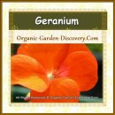 Our Geranium is grown organically