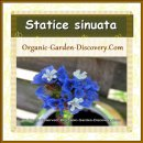 Statice flowers are wearing blue dresses