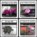 Indoor organic gardening African Violet flowers in full bloom and the whole plant expanded.