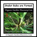 When the shallot plant is expanded; you will know the bulbs are formed.
