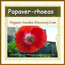 Poppy flower with bright red petals and white at center