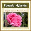 Giant pink peony flower produces fragrance