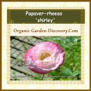 Pink and white Poppy flower with thick layers of petals