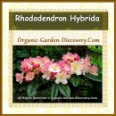 Mix of Pink coloured flowers from a Rhododendron plant