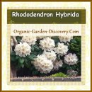 Rhododendron bush carried many large balls of flowers