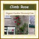 Large climb rose is growing on a trellis close to a high wall in the front door garden