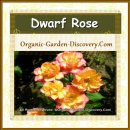 Wide opened peach coloured roses