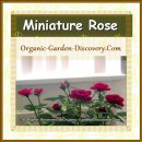 Miniature roses in red