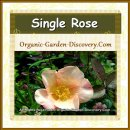 Single rose in a mix of opal and yellow colour