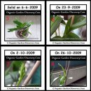 Healthy orchid plant showing flower shoots.