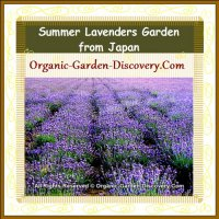 A soft purple lavenders fragrance garden from Japan.