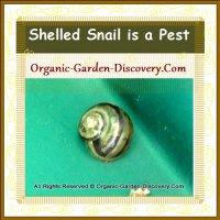 A baby snail found in our organic garden.