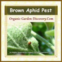 A brown Aphid insect pest under an apple leaf.