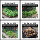 Potatoes plants growing from the day 57 to the day 124 and harvest on the day 125.