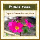 Two pink Primula rosea's are blooming in mid-spring with their yellow hearts