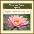Nymphaea Rosea laid comfortablily on water